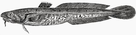 burbot: Lota (ilustración)