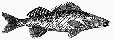 pikeperch: Pike-perch (illustration) LANG_EVOIMAGES