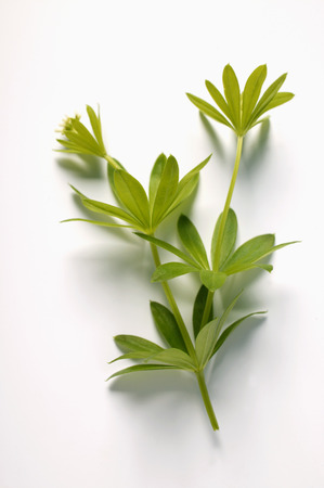 woodruff: Fresh woodruff