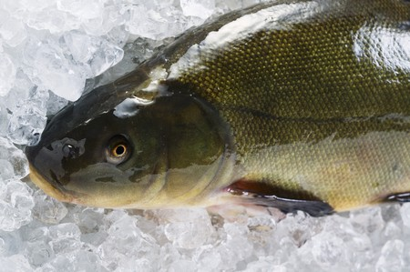 tinca tinca: Fresh tench on ice