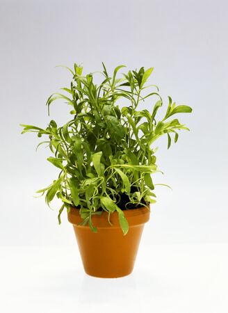 flowerpot: Tarragon in flowerpot LANG_EVOIMAGES