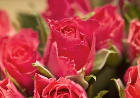 roses rouges: Les roses rouges (close-up)