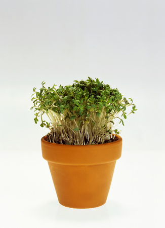 flowerpot: Cress in flowerpot LANG_EVOIMAGES
