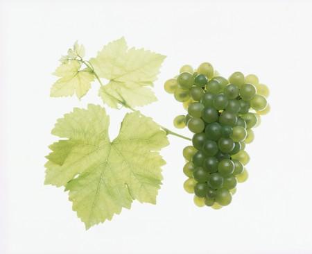 sauvignon blanc: Sauvignon blanc grapes LANG_EVOIMAGES