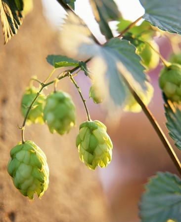 humulus lupulus: Hops on the bine (Humulus lupulus)