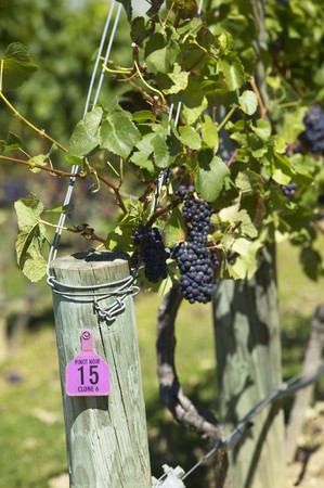 pinot: Pinot noir grapes on the vine, New Zealand