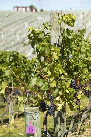 pinot noir: Pinot noir grapes on the vine, New Zealand