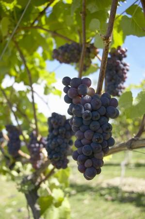 pinot noir: Pinot noir grapes, New Zealand