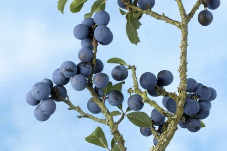 wildberry: Sloes on the branch