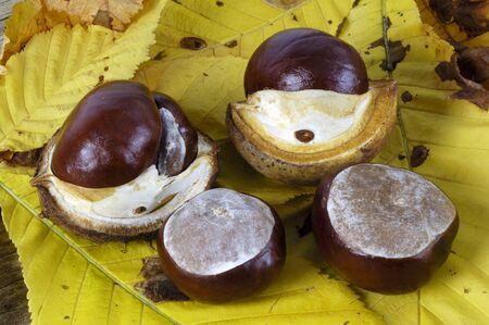 horse chestnuts: Horse chestnuts LANG_EVOIMAGES