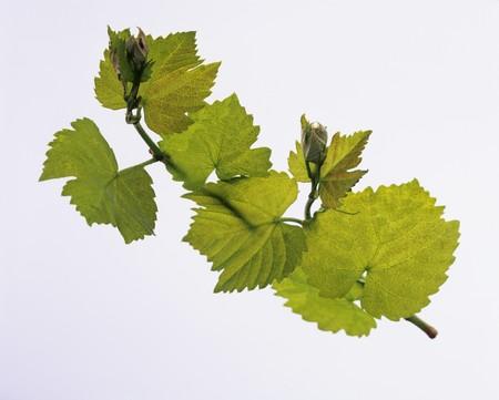 wijnbladeren: Wijnrankbladeren