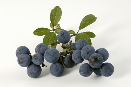 wildberry: Sloes with leaves