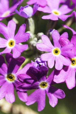 primulas: Birds-eye primrose (primula farinosa) LANG_EVOIMAGES