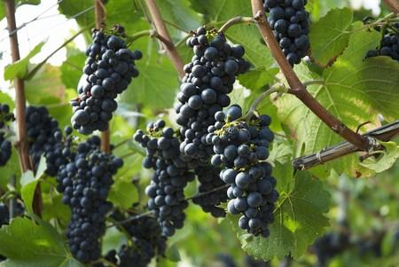 pinot noir: Pinot noir grapes on a vine