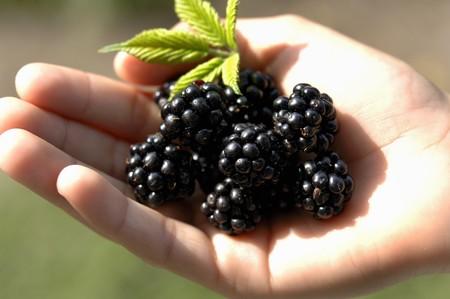 brambleberries: Fresh blackberries in someones hand
