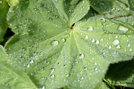 alchemilla mollis: Ladys mantle leaves with drops of water LANG_EVOIMAGES