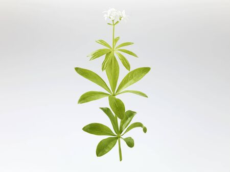 woodruff: Woodruff with flower LANG_EVOIMAGES