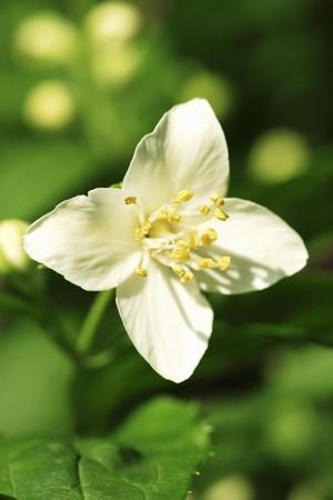 jasmine flower: A jasmine flower LANG_EVOIMAGES