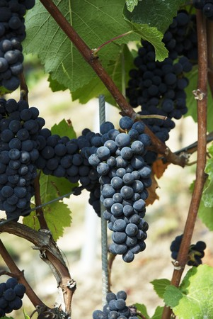 pinot: Pinot noir grapes on a vine