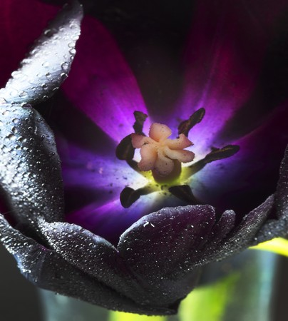 calyxes: Queen of Night tulip with dewdrops (close-up) LANG_EVOIMAGES