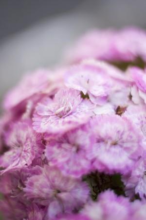 williams: Pink Sweet Williams (detail)