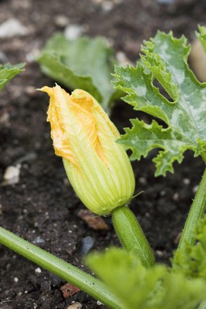 cocozelle: Courgette with flower on the plant LANG_EVOIMAGES