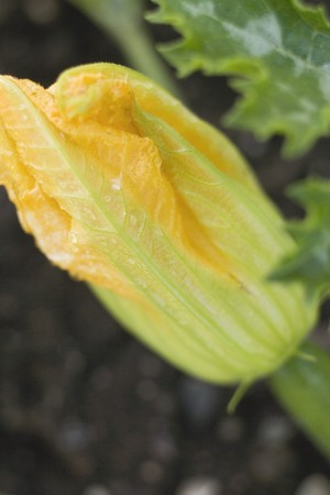 cocozelle: Courgette flower on the plant (close-up) LANG_EVOIMAGES
