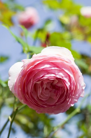 open air: Flowering rose in the open air LANG_EVOIMAGES