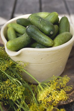 pickling: Pickling cucumbers in bowl, fresh dill beside it