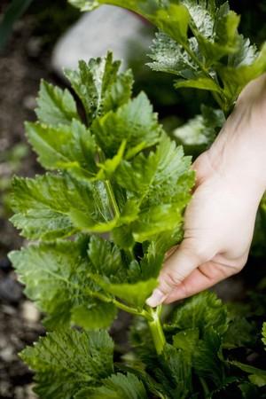 vintages: Hand picking celeriac leaves LANG_EVOIMAGES