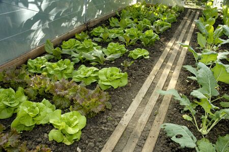 kohl: Lettuce plants and kohlrabi in a greenhouse