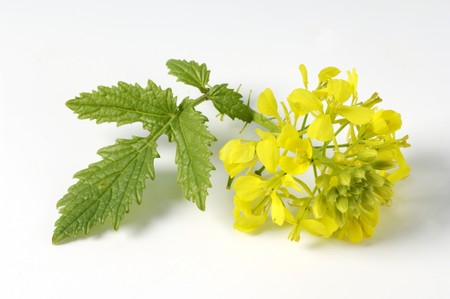 mustard plant: Yellow mustard flower with leaf
