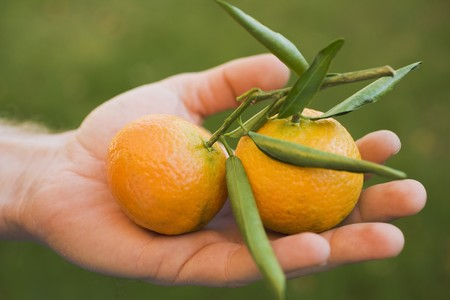 clementines: Hand holding two clementines with leaves LANG_EVOIMAGES
