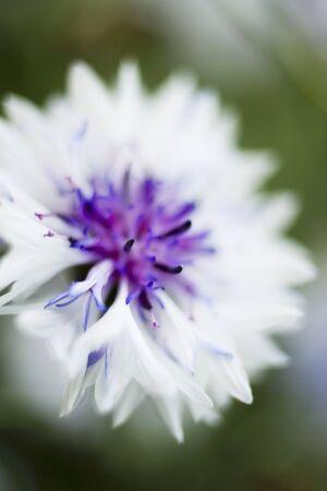 centaurea: White cornflower (Centaurea)