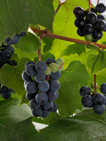 pinot: Pinot Noir grapes on the vine