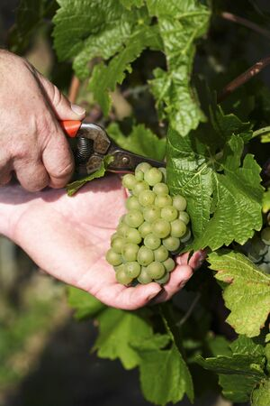 vintages: Cutting Weissburgunder grapes from the vine