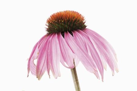 echinacea purpurea: Viola Echinacea (Echinacea purpurea)