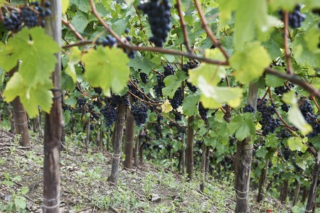 pinot noir: Pinot noir grapes on the vine