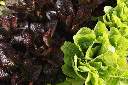 lettuces: Organic Red and Green Lettuces Growing in the Garden LANG_EVOIMAGES