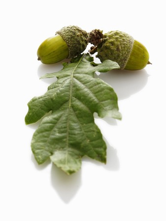 quercus robur: Acorns and oak leaves
