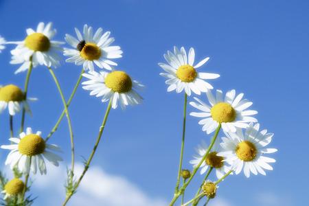 matricaria recutita: Fiori di camomilla contro il cielo blu