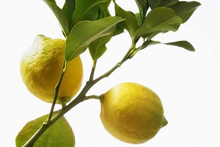 lemon tree: Limones en un �rbol de lim�n