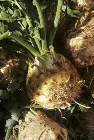 celery root: Celery Root LANG_EVOIMAGES