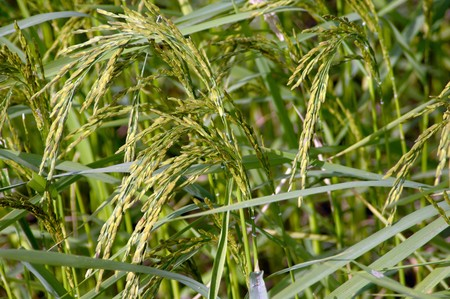 rice plant: Rice plant in the field