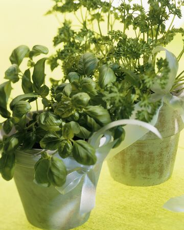 tinca tinca: Basil and curled parsley in terracotta pots