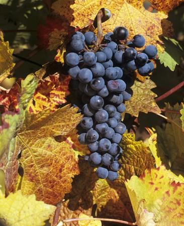 wijnbladeren: