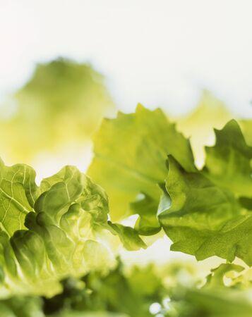 aaa: Lettuce leaves