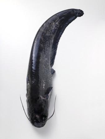 bullhead fish: Whole fresh catfish LANG_EVOIMAGES