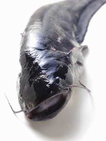 bullhead: Fresh catfish