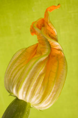 courgette: Courgette flower LANG_EVOIMAGES